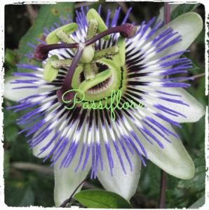 Des plantes pour lutter contre l'insomnie