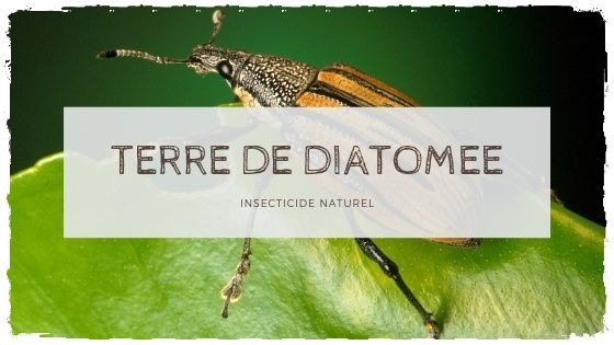 Un insecticide 100% naturel: la terre de diatomee